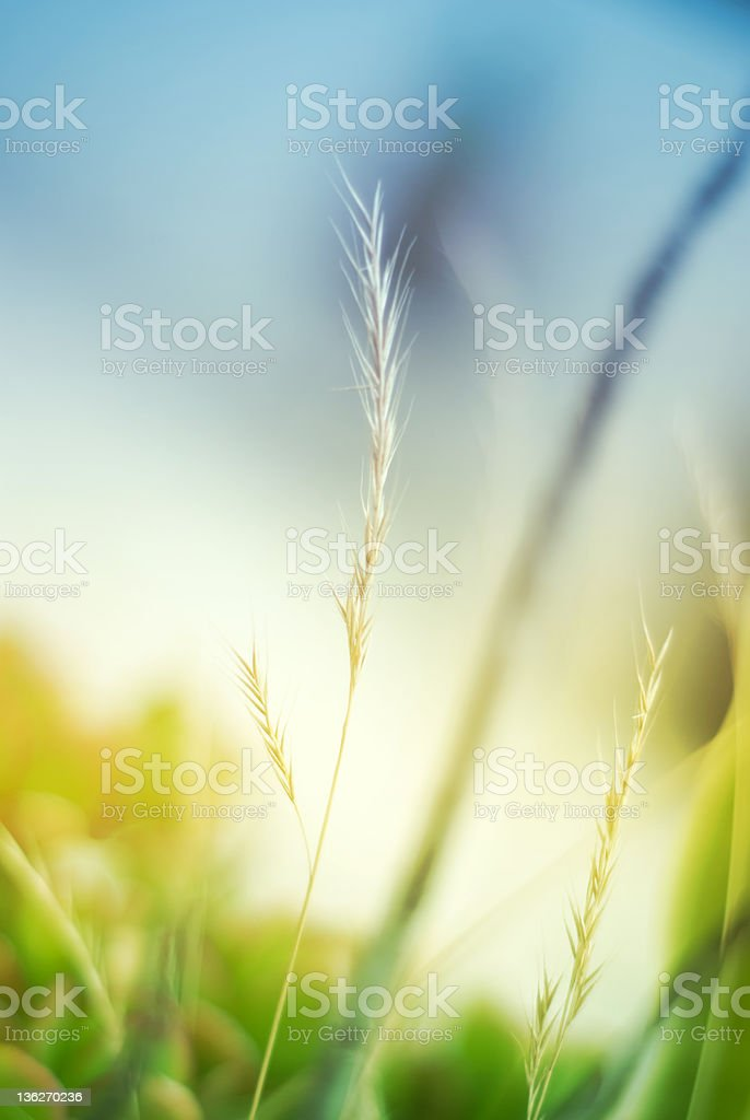 Summer grass royalty-free stock photo