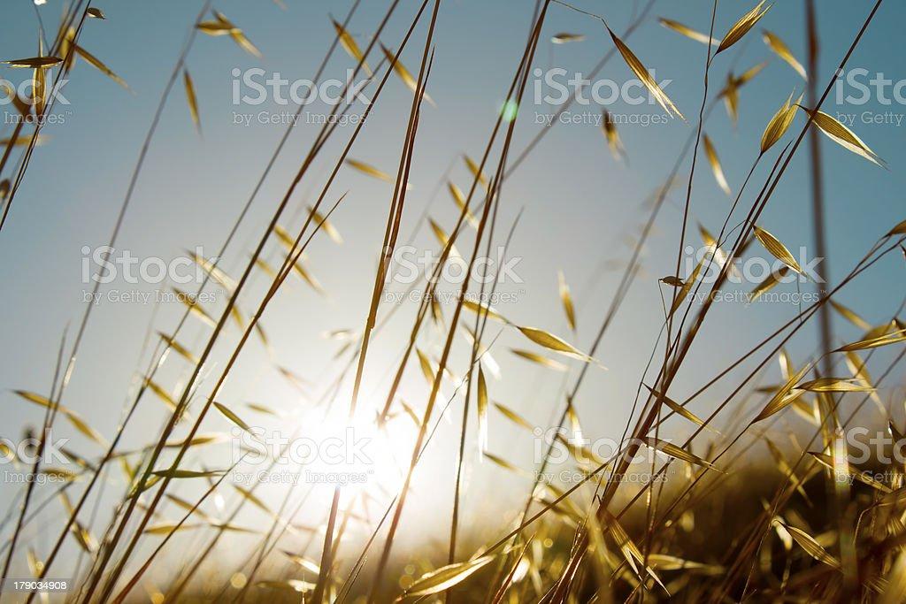 Summer grasses royalty-free stock photo
