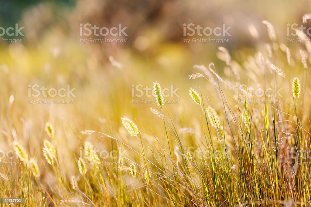Summer grasses stock photo