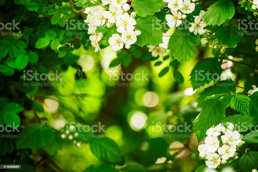 Summer green natural background, blooming hawthorn stock photo
