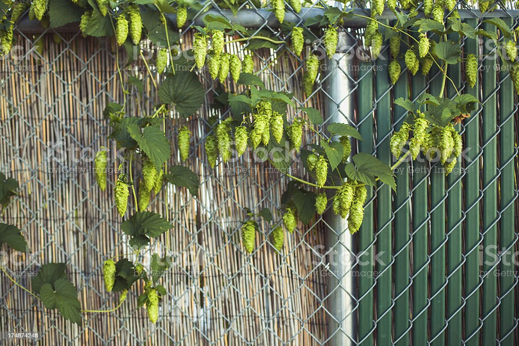 Summer Grown Hops for making Beer on Fence royalty-free stock photo