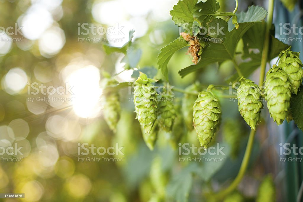 Summer Grown Hops for making Beer stock photo