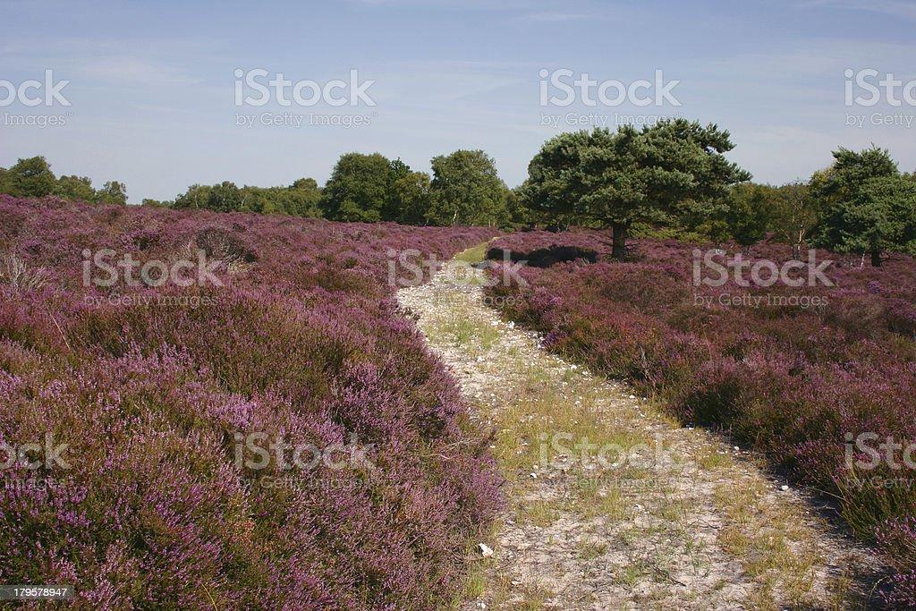 Summer heather royalty-free stock photo