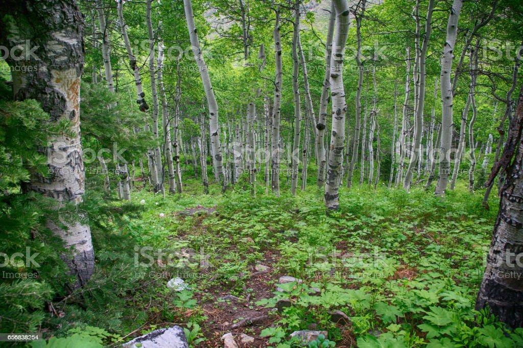 Summer in an aspen grove stock photo