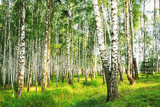 summer in sunny birch forest – Foto
