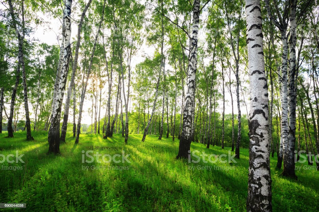 summer in sunny birch forest stock photo