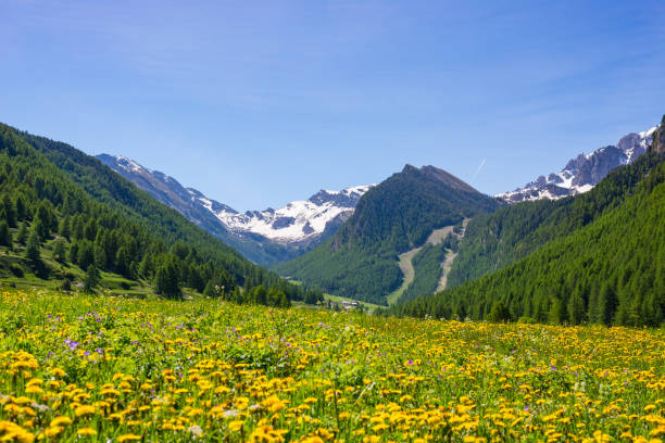 Summer in the Alps. Blooming alpine meadow and lush green woodland set amid high altitude mountain range. Summer in the Alps. Blooming alpine meadow and lush green woodland set amid high altitude mountain range. amid stock pictures, royalty-free photos & images