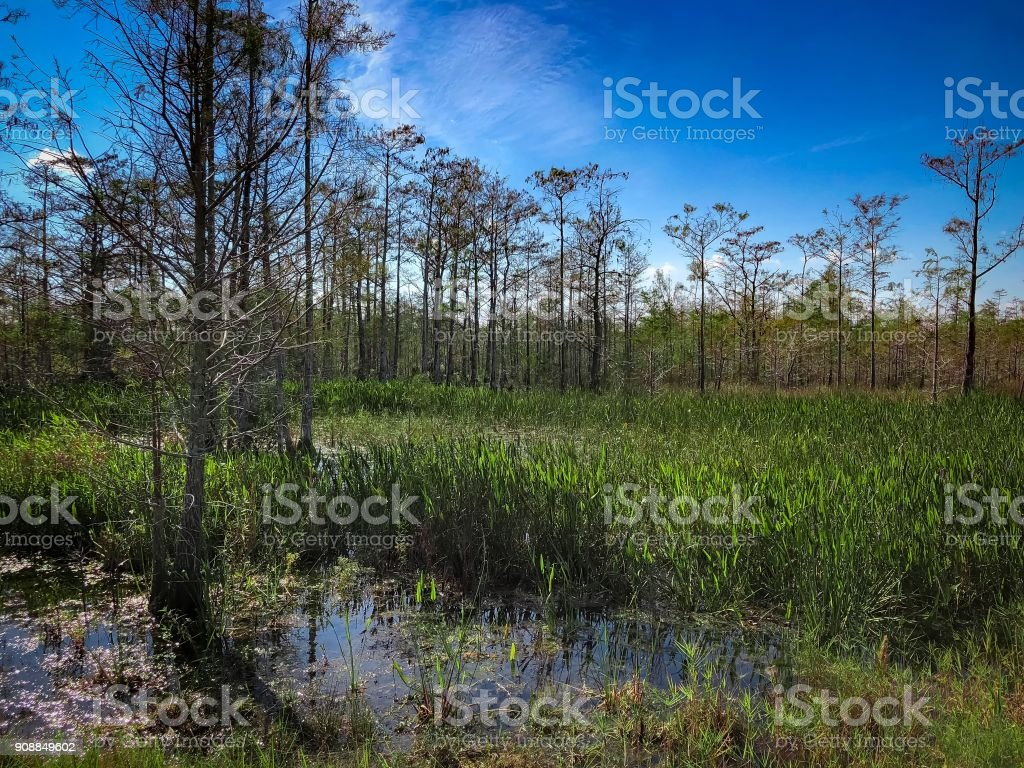 summer in the swamp stock photo