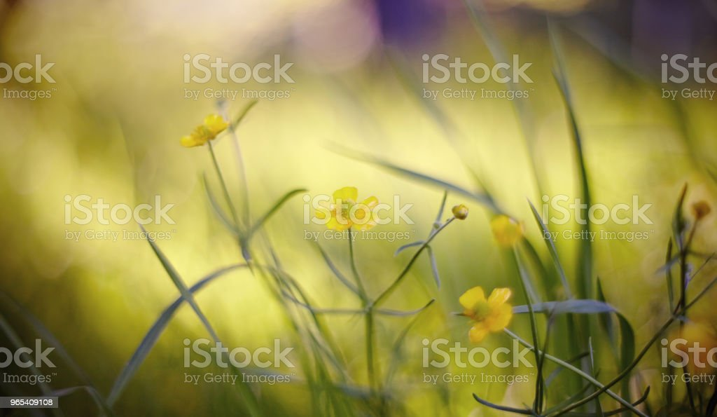 Summer indistinct background with yellow colors of a buttercup. royalty-free stock photo