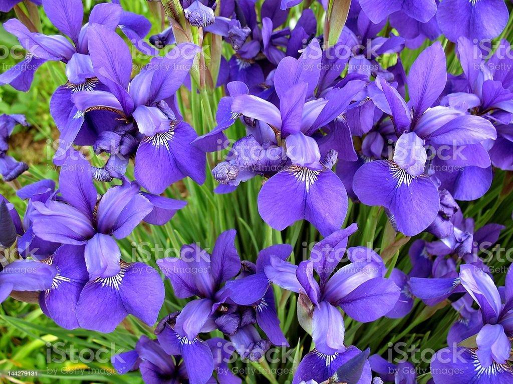 Summer Iris Flowers stock photo