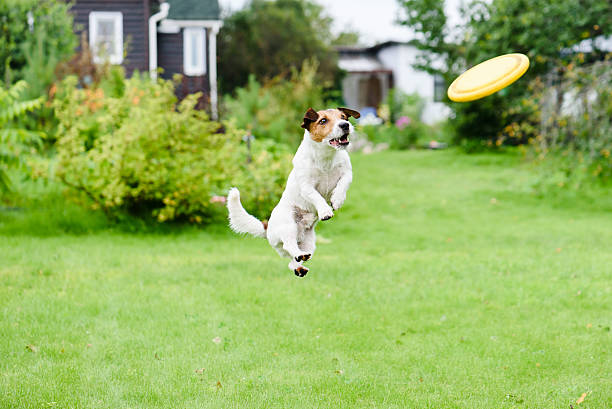 Summer joy at back yard with dog and flying disk picture id534214340?b=1&k=6&m=534214340&s=612x612&w=0&h=75wjxpjlfyqgzzrqx9idvuh0prq4kqikawzaxkrb2mw=