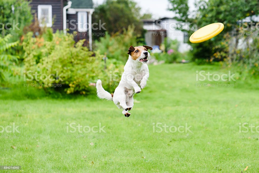 Summer joy at back yard with dog and flying disk stock photo