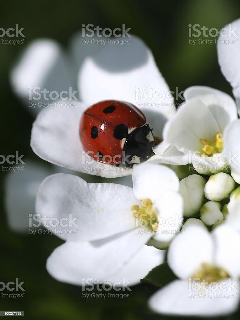 summer ladybird royalty-free stock photo
