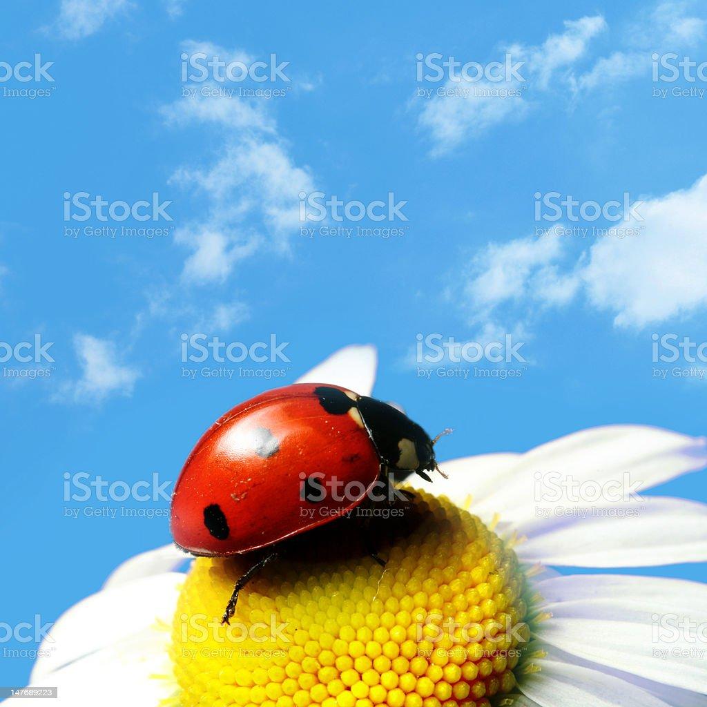 summer ladybug royalty-free stock photo