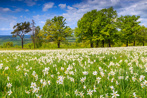 Summer landscape and white daffodils flowers