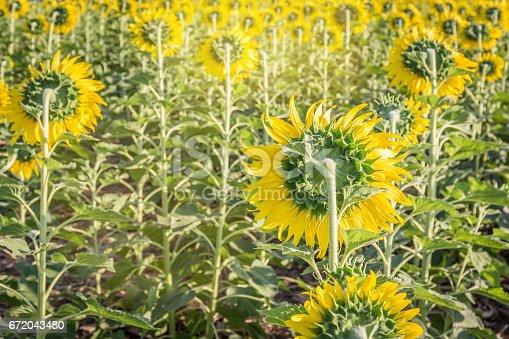 Summer landscape: beauty back sunflowers in field