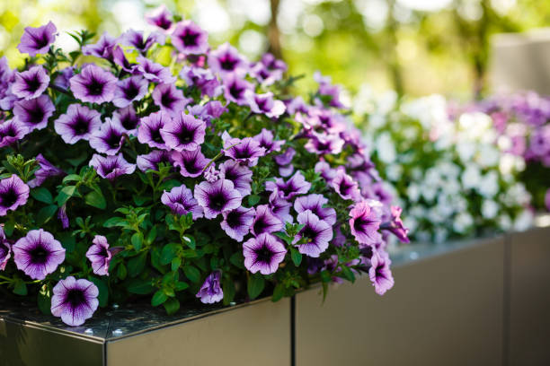 summer landscape. bell flower. delicate flowers campanula. - angiospermas imagens e fotografias de stock
