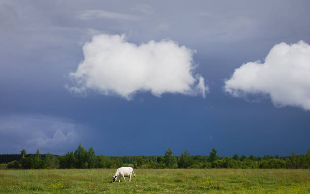 summer landscape, cloudy, white clouds over the field, a white cow in a meadow, green grass - moo stock-fotos und bilder