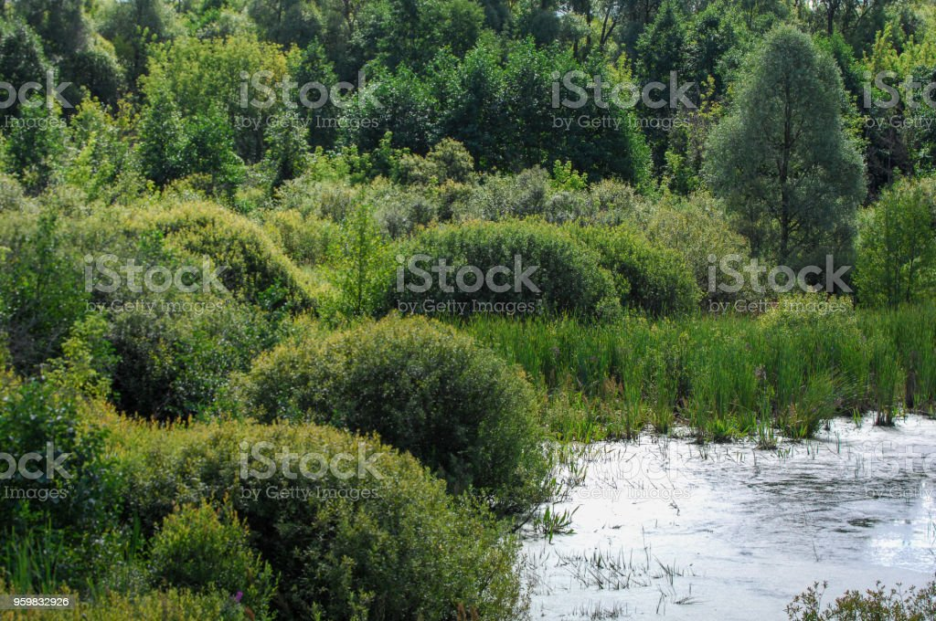 Summer landscape. swamp, marsh, bog, quagmire, morass, backwater. An area of low-lying, uncultivated ground where water collects; A bog or marsh. stock photo