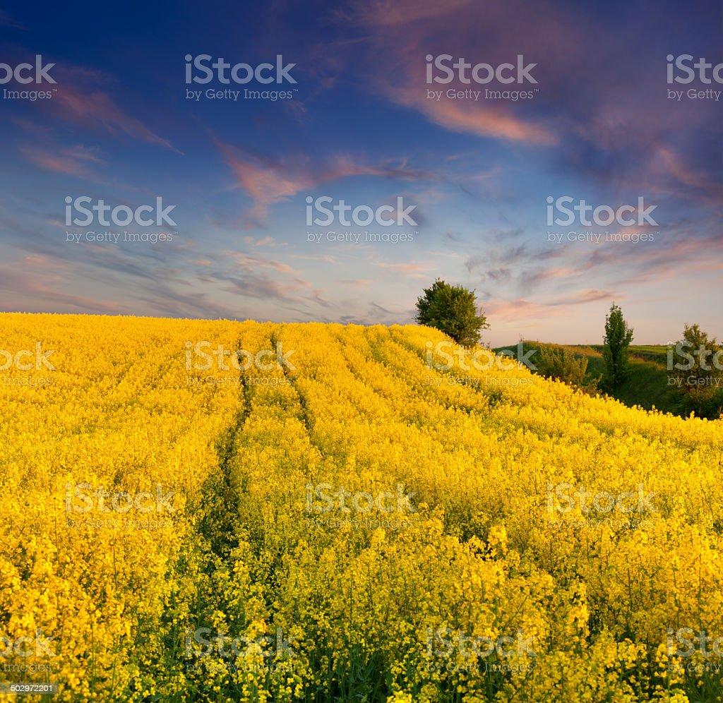 Fiori Gialli Estivi.Paesaggio Estivo Con Un Campo Di Fiori Gialli Tramonto