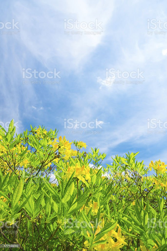 Summer Landscape with Blooming Azaleas - 36 Mpx royalty-free stock photo