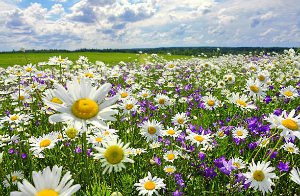 summer landscape with blossoming meadow and flowers - wildblume stock-fotos und bilder