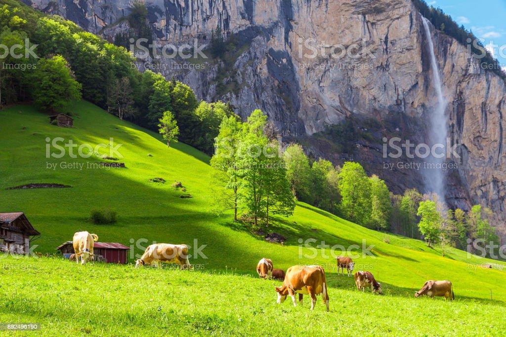 Sommerlandschaft mit Kuh Weiden auf frischen grünen Weiden. Lauterbrunnen, Schweiz, Europa. – Foto