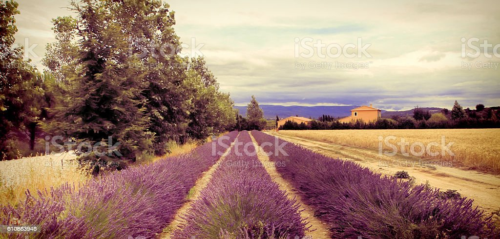 Summer Landscape with Lavender field in Provence, southern Franc stock photo