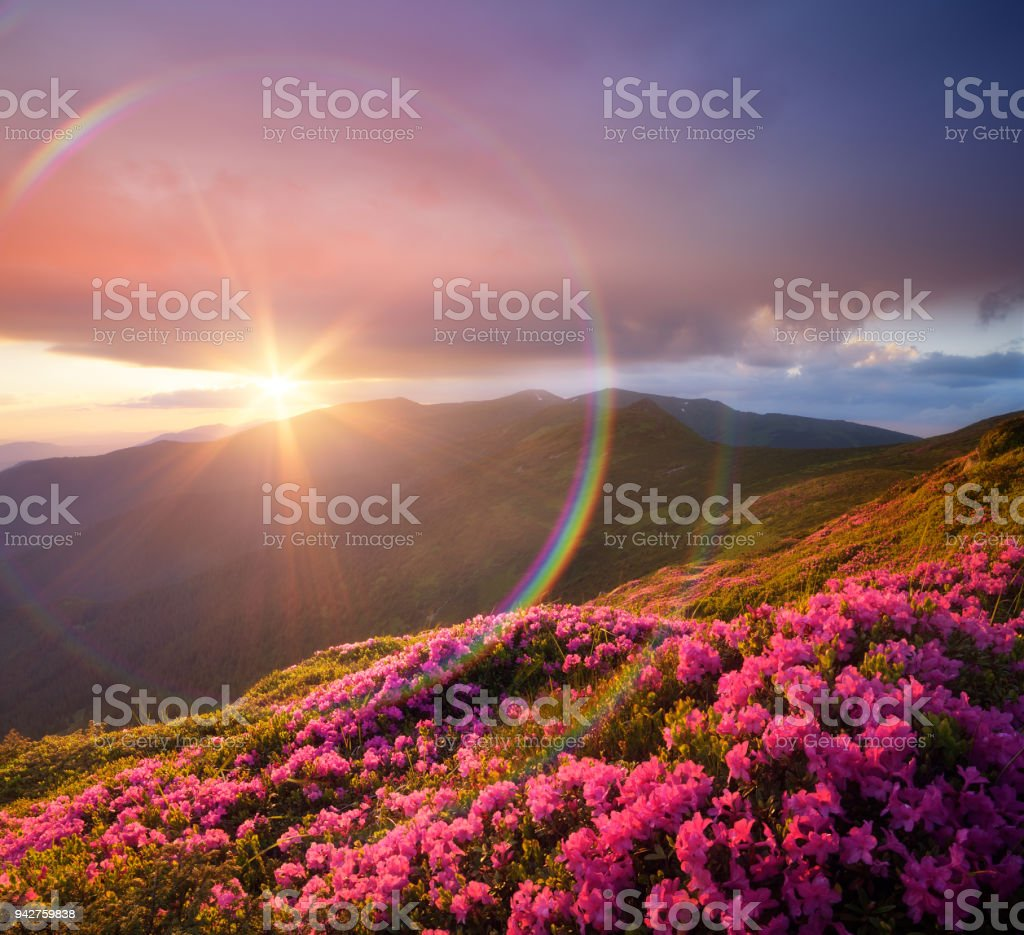 Summer Landscape With Meadow Pink Rhododendron Flowers In The