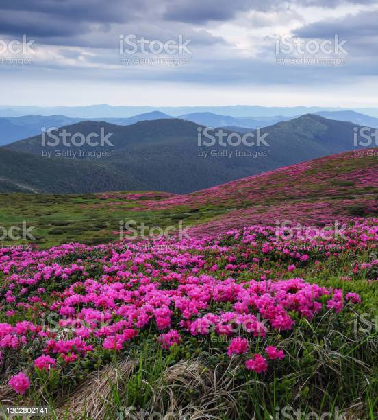 Photo of Summer landscape with mountain, the lawns are covered by pink rhododendron flowers with the foot path. Wallpaper background. Concept of nature rebirth. Location place Carpathian, Ukraine, Europe.