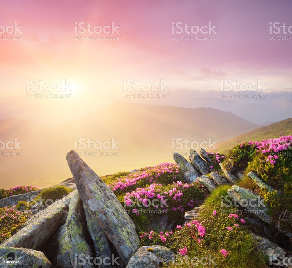 Download Landscape Summer - summer-landscape-with-pink-flowers-and-fog-in-the-mountains-at-dawn-picture-id946965460  Pic_416452.com/photos/summer-landscape-with-pink-flowers-and-fog-in-the-mountains-at-dawn-picture-id946965460