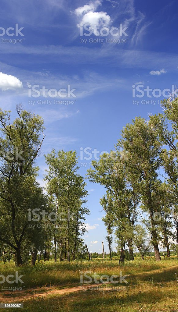 summer landscape with poplar trees royalty-free stock photo