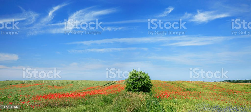 Summer Landscape with Poppies royalty-free stock photo