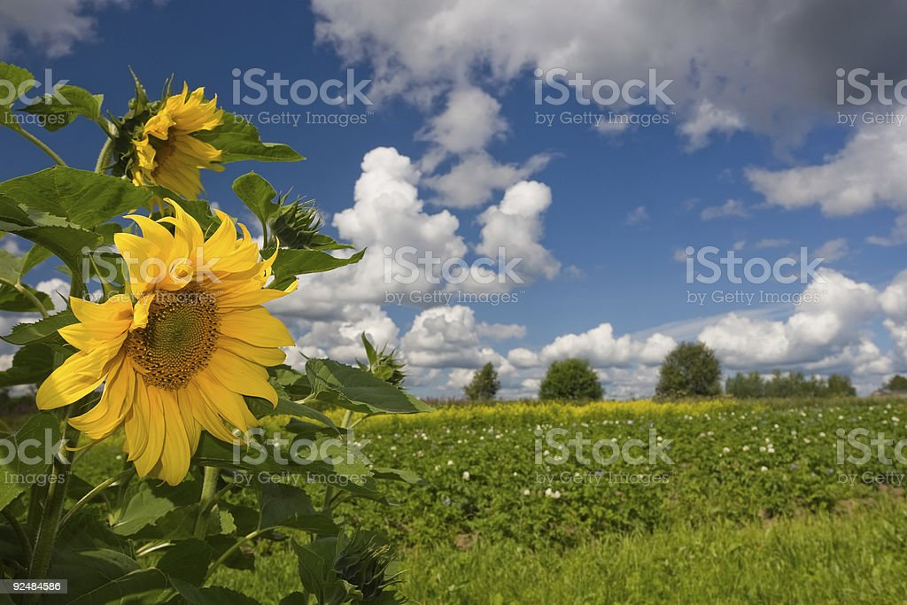 Summer landscape with sunflowers royalty-free stock photo