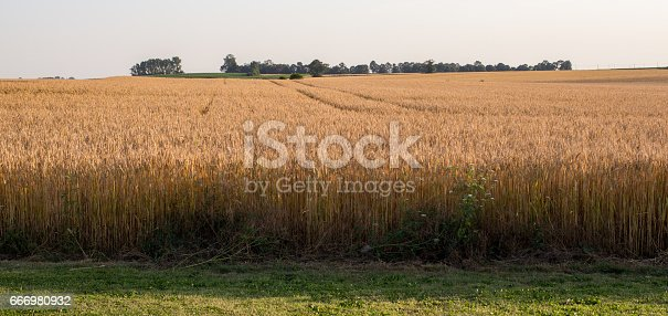 Summer Landscape with Wheat Field and blue cky