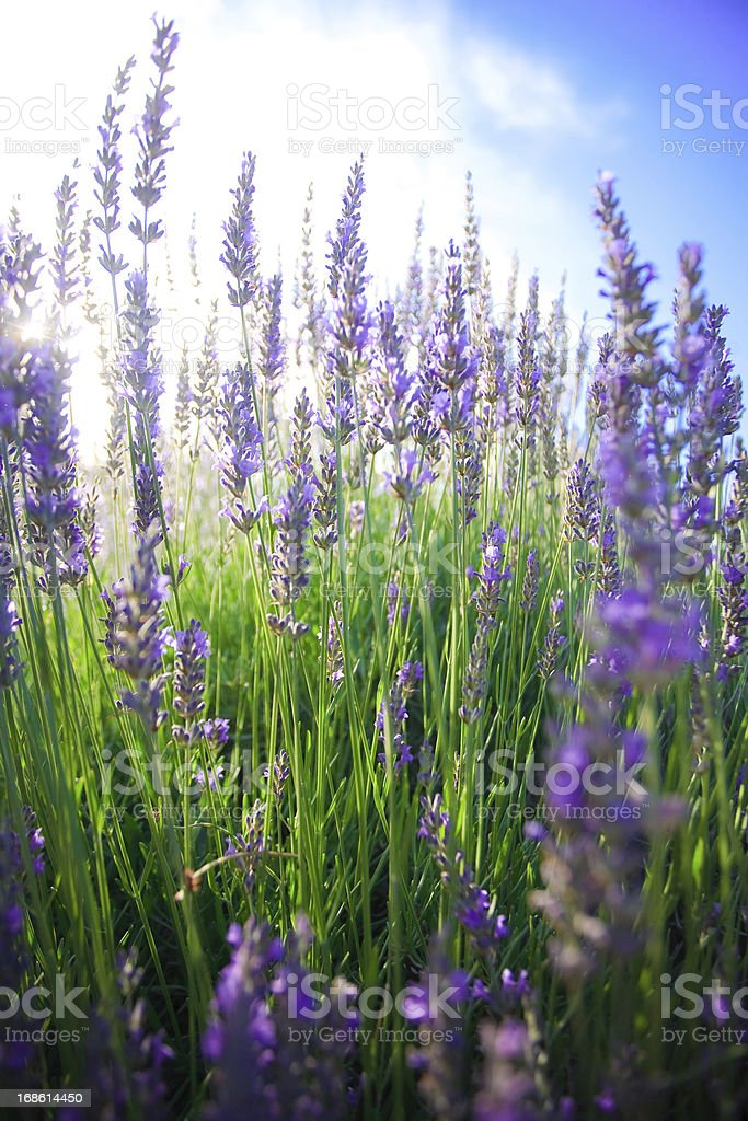 Summer lavender royalty-free stock photo