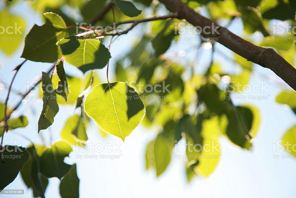 Summer Leaves stock photo