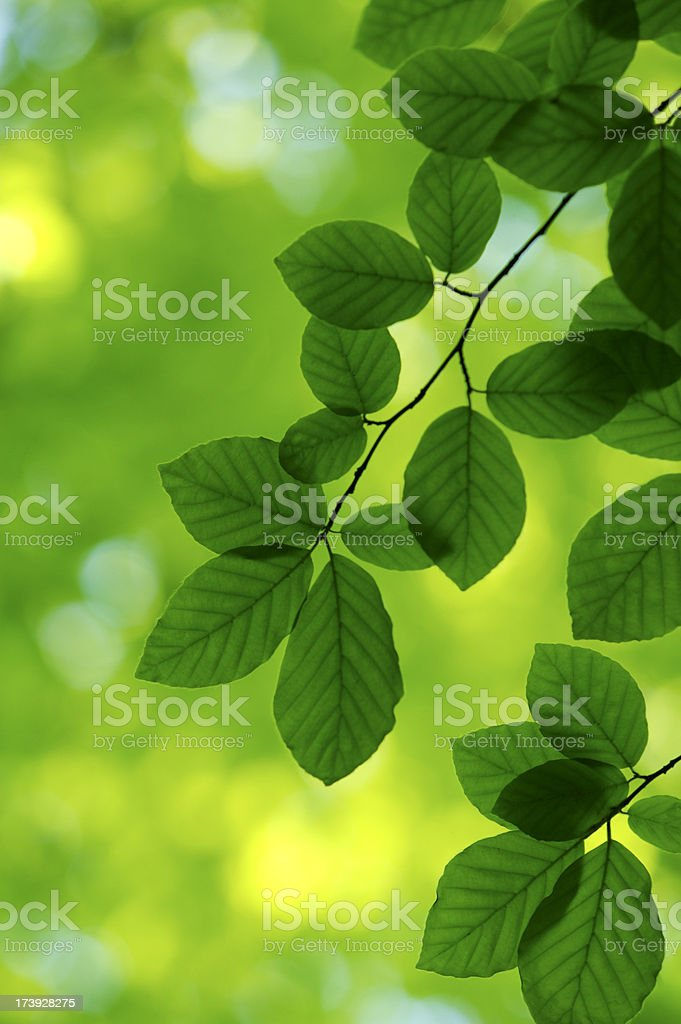 Summer leaves royalty-free stock photo