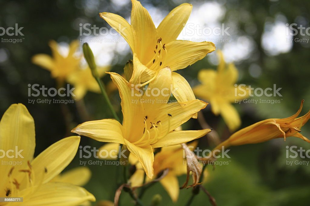 Lilies de verano foto de stock libre de derechos
