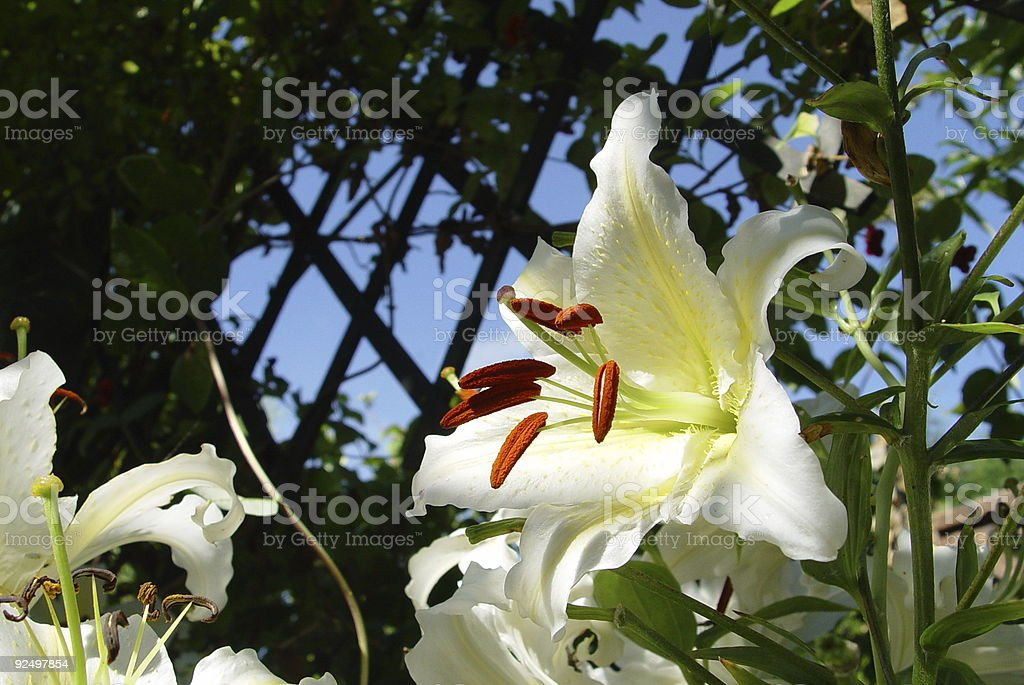 Summer Lillies royalty-free stock photo