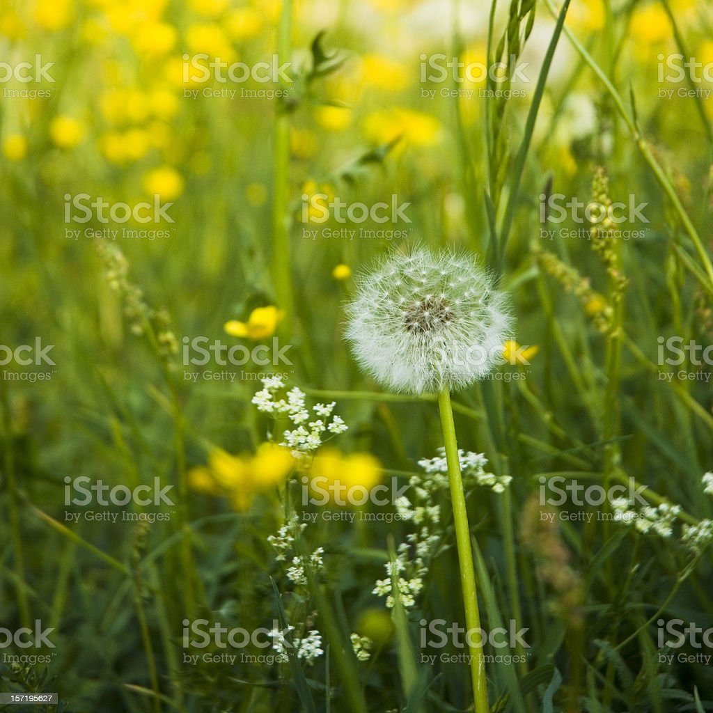 Summer Meadow Blowball royalty-free stock photo