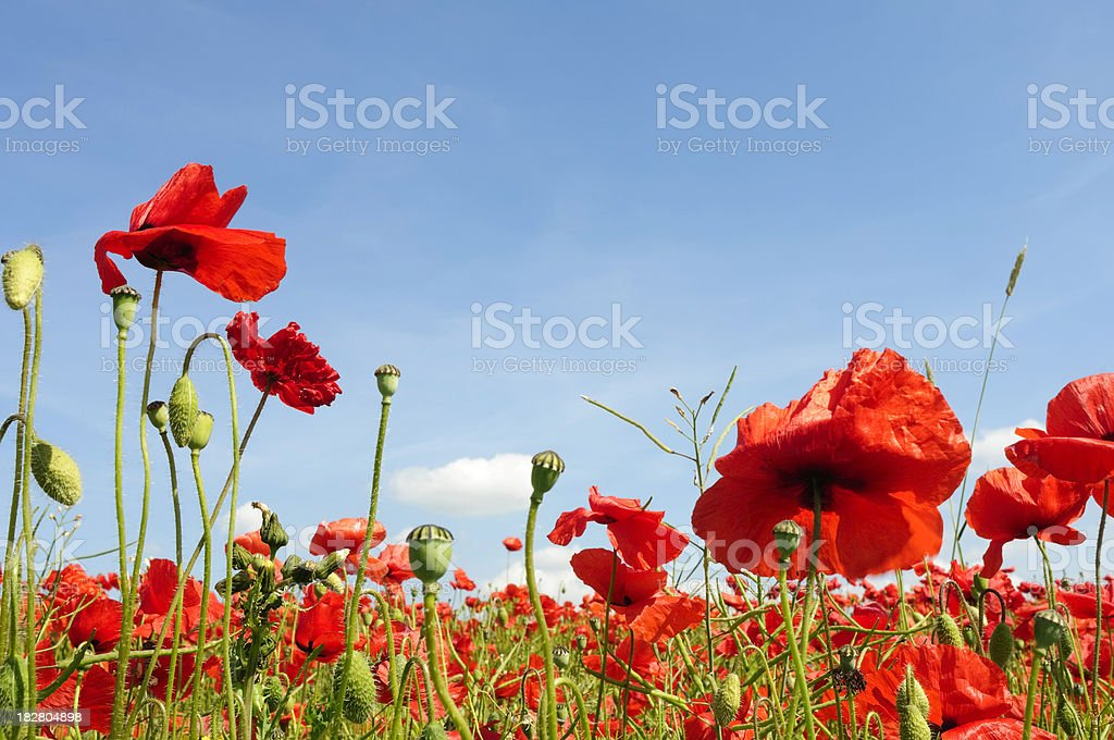 Summer meadow landscape of red poppy field and blue sky royalty-free stock photo