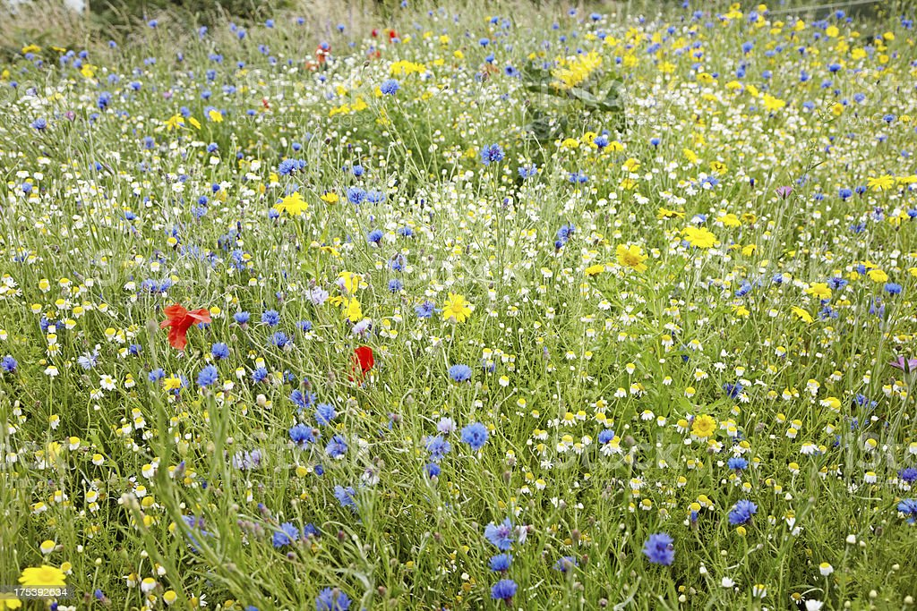 Summer meadow of british wildflowers royalty-free stock photo