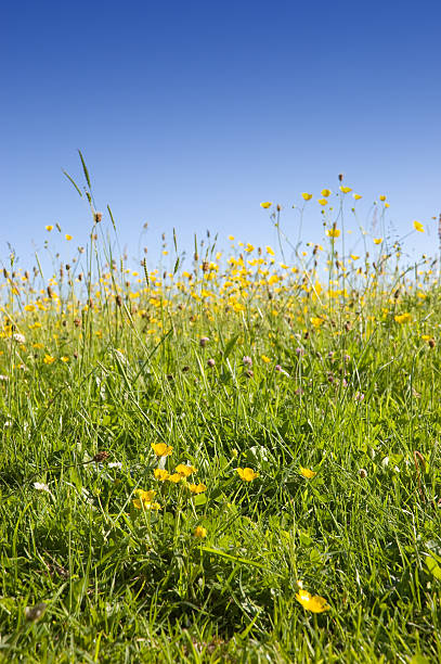 Summer Meadow of Buttercups and Grasses stock photo
