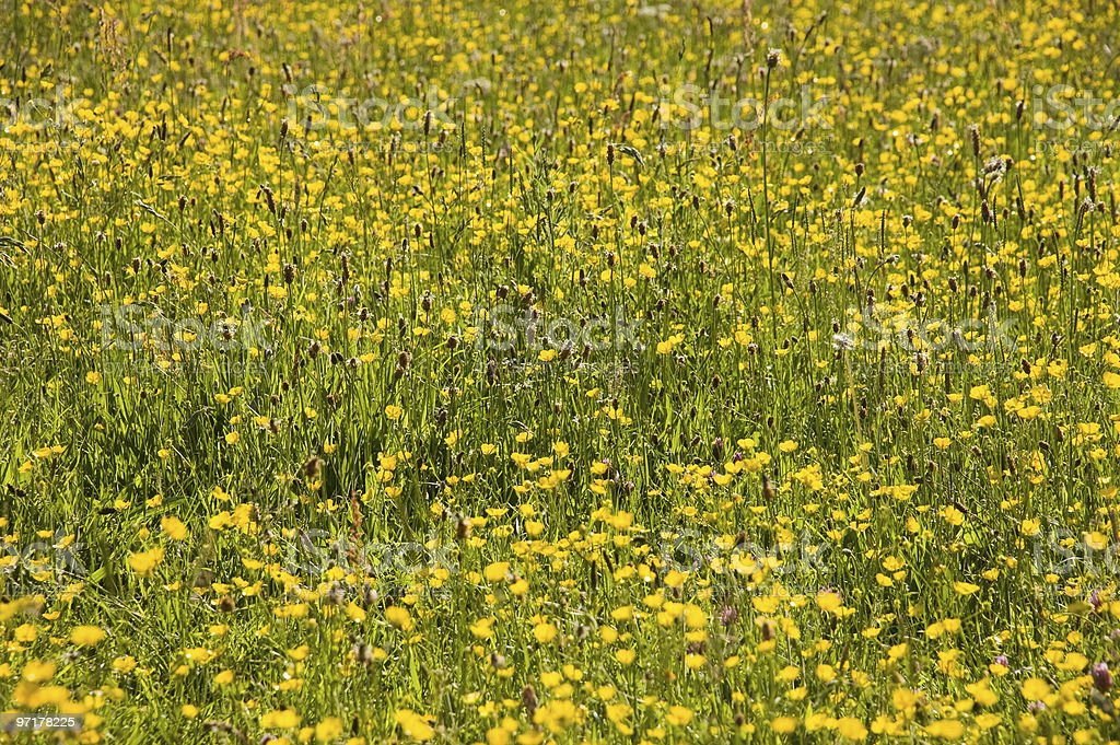 Summer meadow of Buttercups stock photo