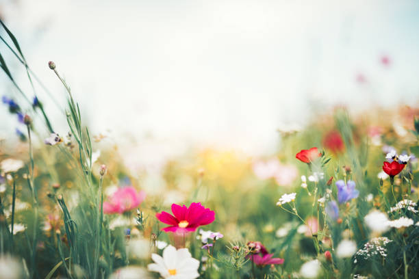 Summer Meadow Summer meadow full of colorful flowers. springtime stock pictures, royalty-free photos & images