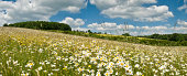 """""""Meadow filled with large white daises basking in warm summer sunshine in front of a rolling green landscape beyond, under a blue sky filled with white fluffy clouds."""""""