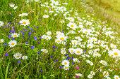 Alpine meadow full of flowers.