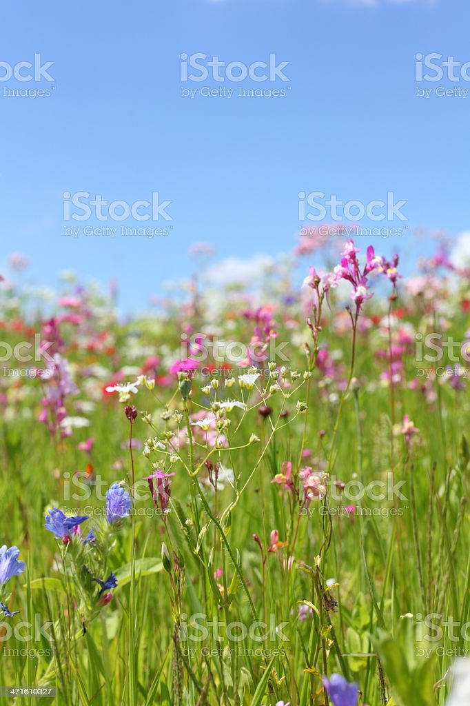 summer meadow royalty-free stock photo