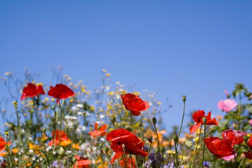 Summer Meadow Wild Flowers